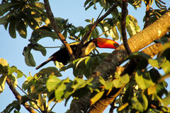 Tucano bird on a tree branch. Tucano bird with a big yellow beak, sitting on a tree branch in forest, green leaves on the background. Tropics, tropical fauna Stock Image