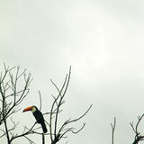 Tucano 2 - Brazilian Bird Stock Images
