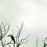 Tucano 2 - Brazylijski ptak Obrazy Stock