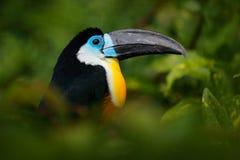 tucano Canal-faturado, vitellinus de Ramphastos, sentando-se no ramo na selva verde tropical, Colômbia Pássaro grande do bico Ret Foto de Stock