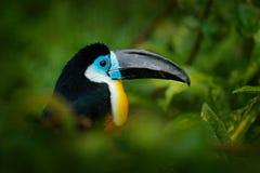 tucano Canal-faturado, vitellinus de Ramphastos, sentando-se no ramo na selva verde tropical, Colômbia Pássaro grande do bico Ret Fotos de Stock Royalty Free