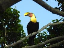 Tucano em minha árvore Costa Rica do ficus fotos de stock