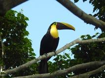 Tucano em minha árvore Costa Rica do ficus imagem de stock