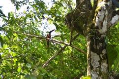 Tucano em uma selva de Costa Rica Foto de Stock
