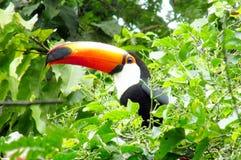 Tucano na drzewie Obraz Stock