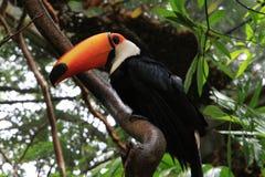 Tucano nella giungla di Amazon Fotografia Stock Libera da Diritti