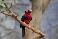 Tucano, pássaro grande do bico Fotografia de Stock Royalty Free