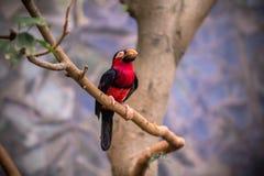 Tucano, pássaro grande do bico Foto de Stock