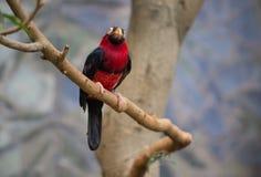 Tucano, pássaro grande do bico Fotografia de Stock