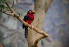 Tucano, pássaro grande do bico Imagens de Stock Royalty Free