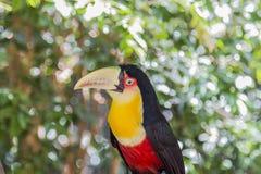 Tucano, Parque das Aves, Foz hace Iguacu, el Brasil Imagen de archivo