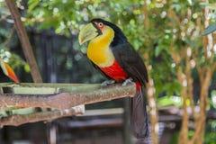 Tucano, Parque das Aves, Foz robi Iguacu, Brazylia Zdjęcie Stock