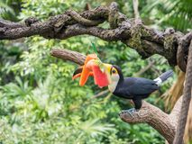Tucano sudamericano che mangia watemelon fotografia stock