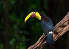 Tucano sul ramo nel profilo Fotografia Stock Libera da Diritti