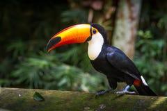 Tucano-toco изолировало конец птицы вверх по toco Ramphastos портрета стоковые изображения