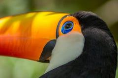 Tucano-toco изолировало конец птицы вверх по toco Ramphastos портрета стоковое изображение rf