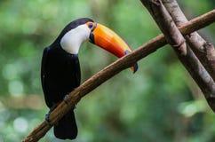 Tucano-toco изолировало конец птицы вверх по toco Ramphastos портрета стоковое изображение