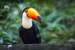 Tucano-toco bird Ramphastos toco close up portrait isolated in the wild Parque das Aves, Brasil - Birds place park in Brasil. Tucano-toco bird Ramphastos toco royalty free stock images