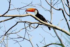 Tucano on the tree. Tucano bird with a big yellow beak, sitting on a tree branch in forest, green leaves on the background. Tropics, tropical fauna, birds Royalty Free Stock Photography
