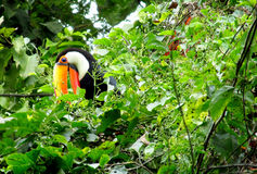 Tucano on the tree. Tucano bird with a big yellow beak, sitting on a tree branch in forest, green leaves on the background. Tropics, tropical fauna, birds Royalty Free Stock Photo