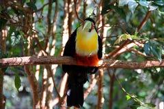 tucano Verde-fatturato o tucano dal petto rosso - dicolorus di Ramphatos Fotografie Stock