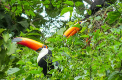 Tucans birds on the green tree. Tucans birds with a big yellow beak, sitting on a tree branch in forest, green leaves on the background. Tropics, tropical fauna Royalty Free Stock Photography
