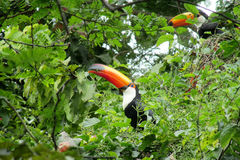 Tucans on green tree. Tucanos birds with a big yellow beak, sitting on a tree branch in forest, green leaves on the background. Tropics, tropical fauna, birds Royalty Free Stock Photo