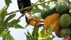 Tucanuçu Fütterung Lizenzfreie Stockbilder