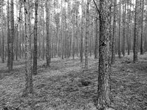 Tuchola Pinewoods. Artistic look in black and white. Stock Image