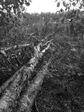 Tuchola Pinewoods. Artistic look in black and white. Royalty Free Stock Image