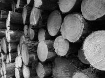 Tuchola Pinewoods. Artistic look in black and white. Stock Photography