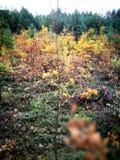 Tuchola tallskogar Konstnärlig blick i livliga färger för tappning Royaltyfri Bild