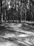Tuchola tallskogar Konstnärlig blick i svartvitt Royaltyfria Bilder