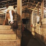 Tucked. In for the night, these two horses, a Haflinger and American Quarter Horse. Nestled in the hills of South Central Kentucky royalty free stock photo