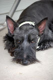 Tuckered Out!. Black scottie lying on the porch after playing with the puppies Royalty Free Stock Images