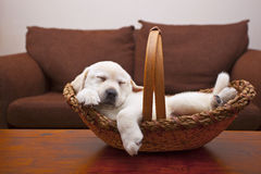 Tuckered Puppy. A tired yellow English Lab puppy sleeps in a wicker basket on a table. Shallow focus on puppy's nose Stock Photos