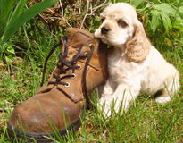Tuckered Puppy. Cocker spaniel puppy resting head on workboot (6 weeks old - champion stock Royalty Free Stock Images