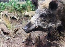 A Wild Boar Sow and Piglets, International Wildlife Museum, Tucs. TUCSON, ARIZONA, FEBRUARY 17.  The International Wildlife Museum on February 17, 2018, in Stock Images