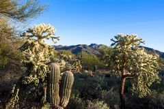 Iconic Sonoran Desert plants and a mountain in Tucson Mountain Park. Tucson Mountain Park in Arizona`s Sonoran Desert includes cholla and chain-fruit cacti and Stock Image