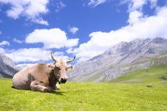Tudanca cow. Stock Photography