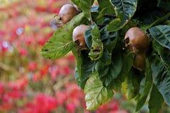 tudeley uk för tree för höstfruktkent medlar Royaltyfri Fotografi