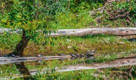 Tudo em seguido! Tartarugas na linha para um Sunbath pequeno Fotos de Stock Royalty Free