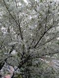 Tudo na flor completa no Tóquio Imagens de Stock Royalty Free