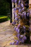 Tudor antique house Blakesley Hall entrance wisteria twine vine decorative tree flower uk Birmingham Stock Image