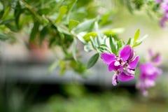 Tuebingen, Germany Feb 13,2016: Flower with purple blossom at the botanic garden Royalty Free Stock Image