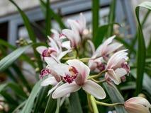 Tuebingen Tyskland - Februari 13,2016: Orkidér på botaniska trädgården fotografering för bildbyråer