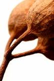 Tuercas australianas de la goma Foto de archivo libre de regalías