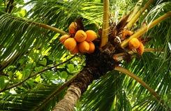 Tuercas de palma Fotografía de archivo