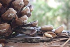Tuercas de pino Fotografía de archivo