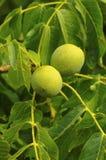 Tuercas que cuelgan en un árbol de nuez Imagenes de archivo